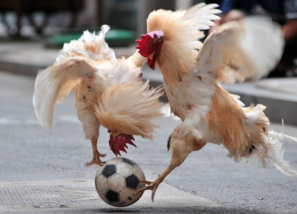 Hai con gà trống tranh nhau quả bóng trong chương trình trò chơi bóng đá với gà ở Thẩm Dương, Trung Quốc - Sputnik Việt Nam