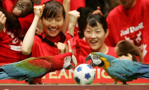 Hai con vẹt mổ vào quả bóng nhỏ khi những người trông coi vườn thú theo dõi trận bóng đá dành cho động vật ở Seoul - Sputnik Việt Nam