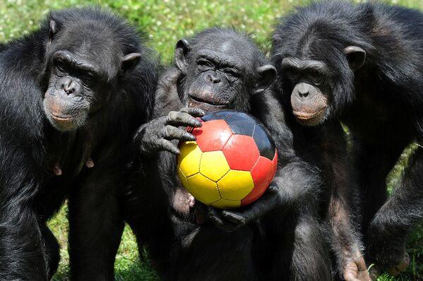 Đàn tinh tinh chơi đùa với quả bóng trong công viên Serengeti, Đức - Sputnik Việt Nam