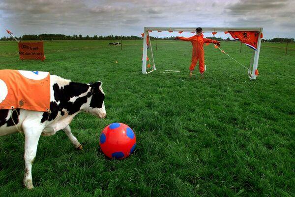 Con bò chơi với quả bóng trên đồng cỏ gần thị trấn Baambrugge, Hà Lan - Sputnik Việt Nam