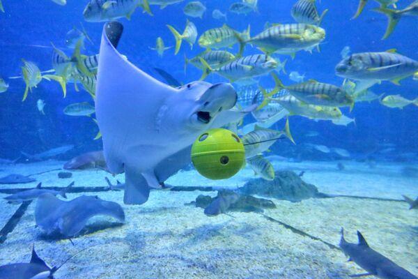 Cá đuối đang bơi bên cạnh quả cầu giống quả bóng đá trong Công viên đại dương Haichang-Thượng Hải (Shanghai Haichang Ocean Park), Trung Quốc - Sputnik Việt Nam