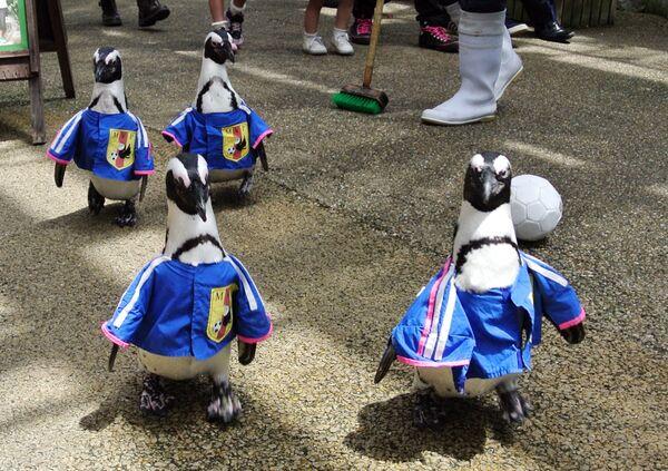 Những chú chim cánh cụt mặc quần áo mô phỏng đồng phục đội tuyển quốc gia Nhật Bản đi dạo trong công viên ở Nhật Bản - Sputnik Việt Nam