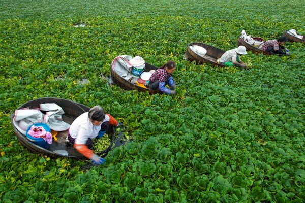 Nông dân thu hoạch hạt dẻ trong đầm ở Đài Châu, Trung Quốc - Sputnik Việt Nam