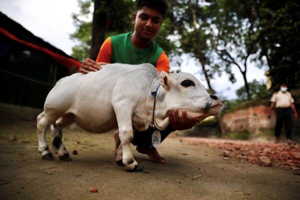 Bò lùn Rani trong trang trại ở Bangladesh - Sputnik Việt Nam