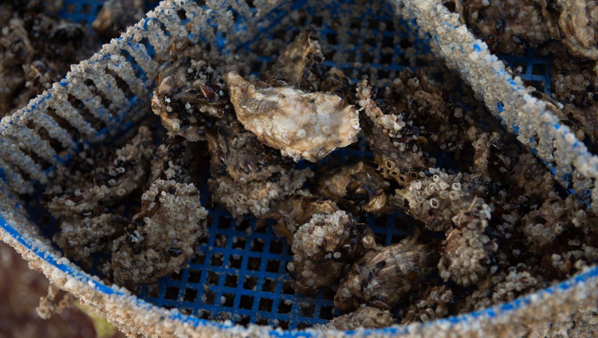 Hàu được thu hoạch tại trang trại trai-sò Courchevel ở Sochi - Sputnik Việt Nam, 1920, 19.07.2021