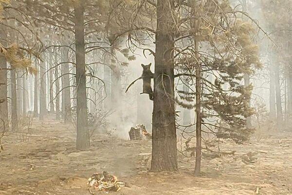 Gấu con bám vào gốc cây sau khi được nhân viên an ninh phát hiện trong đám cháyBootleg  ở miền nam Oregon, Mỹ - Sputnik Việt Nam