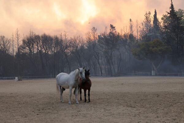 Những con ngựa của trang trại trong trận cháy rừng ở ngoại ô phía bắc Athens - Sputnik Việt Nam