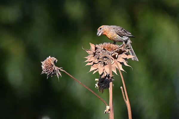 Chim trên bông hoa héo rũ ở California - Sputnik Việt Nam