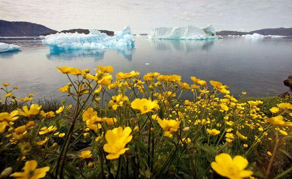 Những bông hoa dại trước tảng băng trôi ở Greenland - Sputnik Việt Nam