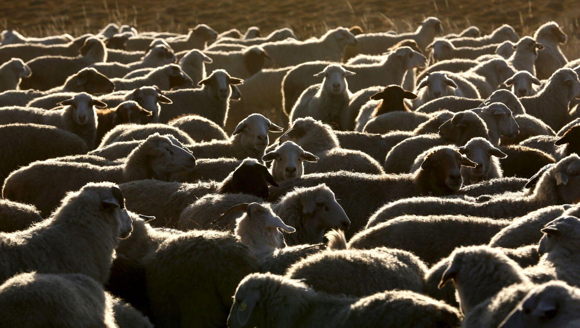 Đàn cừu và dê - Sputnik Việt Nam, 1920, 17.08.2021