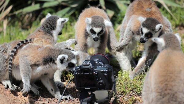 Vượn cáo nhìn vào ống kính máy ảnh ở sở thú Zoom Torino - Sputnik Việt Nam