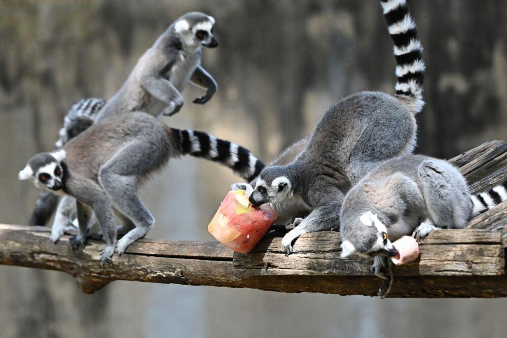 Vượn cáo ăn trái cây đông lạnh để giải nhiệt trong cái nóng ở vườn thú Roma