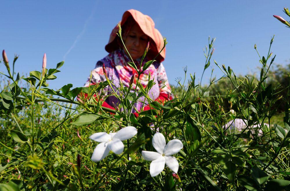Thu hoạch hoa nhài để làm nước hoa «Chanel Nº5» ở Pegomas