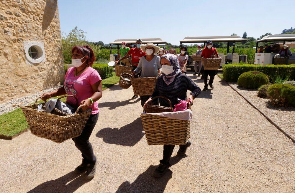 Người hái với giỏ hoa nhài ở Pegomas, Pháp