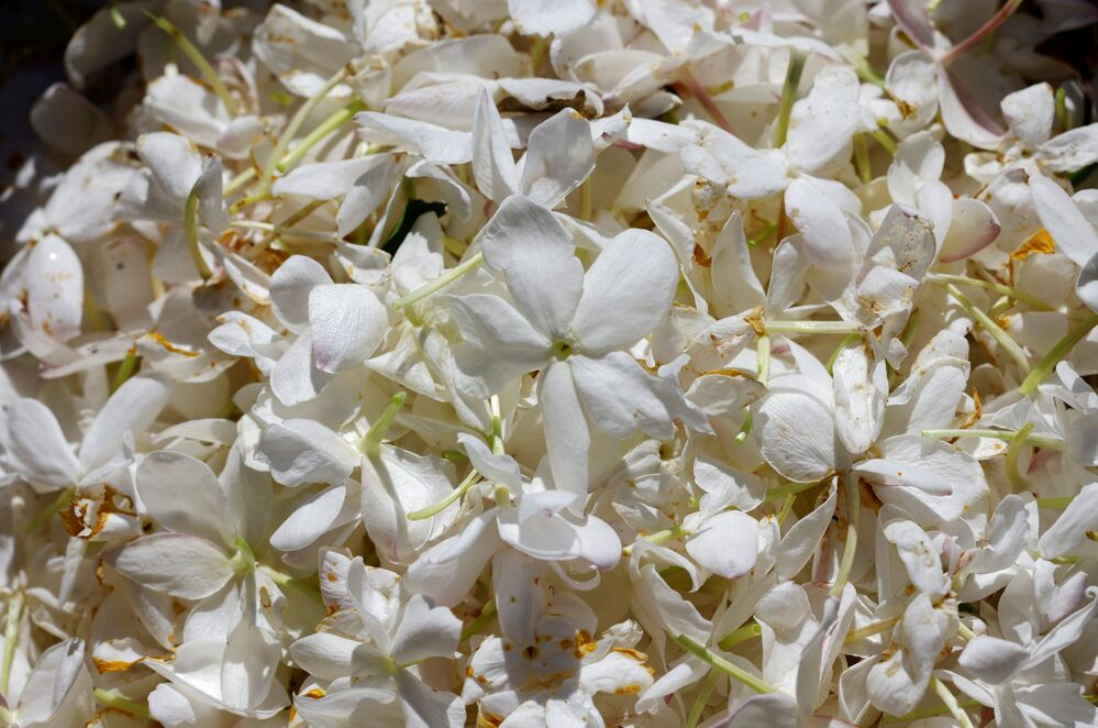 Hoa nhài đang được xử lý để tạo ra nước hoa Chanel Nº5