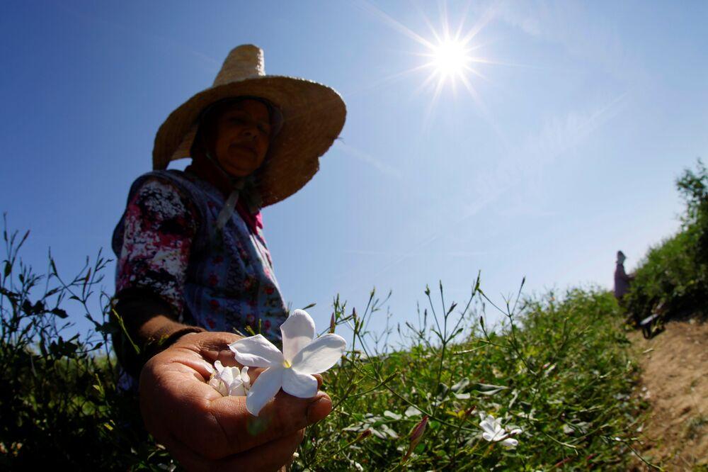Thu hoạch hoa nhài trên cánh đồng ở Pegomas, miền nam nước Pháp,  để sản xuất nước hoa «Chanel Nº5»
