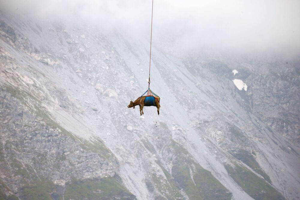 Vận chuyển con bò bằng máy bay trực thăng từ đồng cỏ núi cao ở Thụy Sĩ