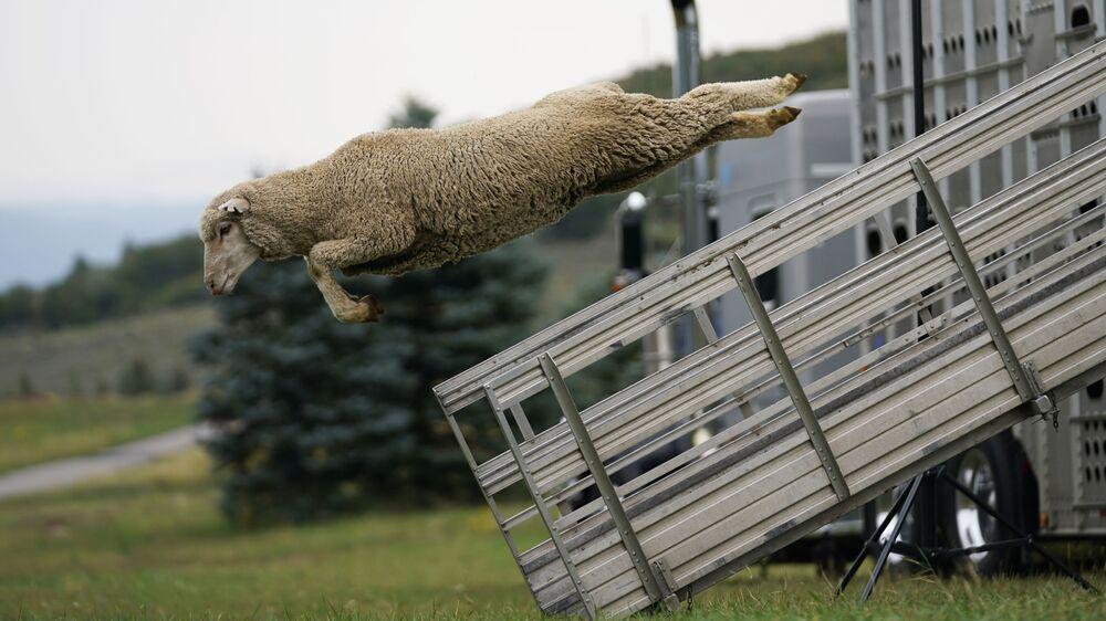 Cừu nhảy ra khỏi xe tải tại Giải vô địch Soldier Hollow Classic Sheepdog Championship hàng năm ở Mỹ