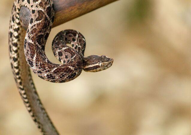 Các loài viper Jararakusu