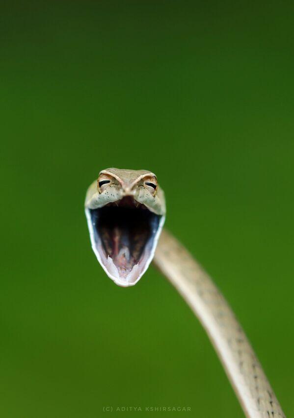 Bức ảnh «Rắn cười của nhiếp ảnh gia Ấn Độ Aditya Kshirsagar, lọt vào chung kết của cuộc thi 2021 The Comedy Wildlife Photography Awards - Sputnik Việt Nam