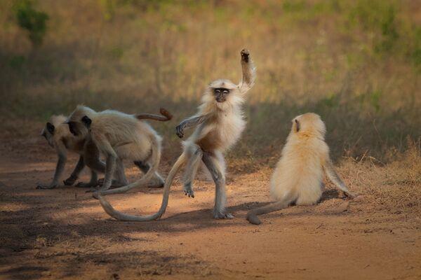 Bức ảnh Nhảy múa trên con đường đến vinh quang (Dancing Away to Glory) của nhiếp ảnh gia Ấn Độ Sarosh Lodhi, lọt vào chung kết của cuộc thi 2021 The Comedy Wildlife Photography Awards - Sputnik Việt Nam