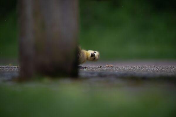 Ảnh Peekaboo của nhiếp ảnh gia Anh Charlie Page, chung kết cuộc thi 2021 The Comedy Wildlife Photography Awards - Sputnik Việt Nam