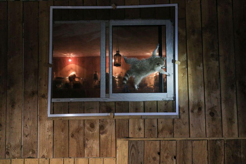 Bức ảnh Làm thế nào để mở cửa sổ này? (How do you get that damn window open?). Nhiếp ảnh gia Pháp Nicolas de Vaulx, lọt vào chung kết của cuộc thi 2021 The Comedy Wildlife Photography Awards