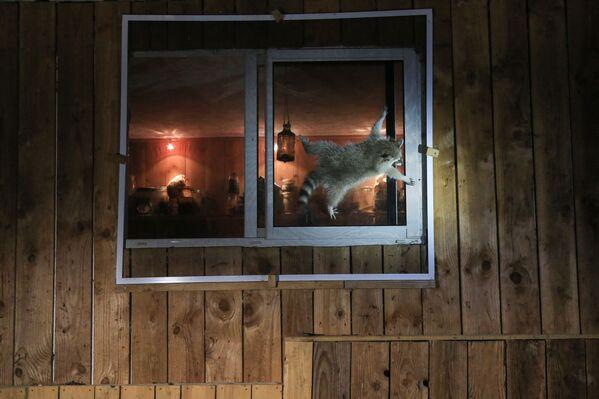 Bức ảnh Làm thế nào để mở cửa sổ này? (How do you get that damn window open?). Nhiếp ảnh gia Pháp Nicolas de Vaulx, lọt vào chung kết của cuộc thi 2021 The Comedy Wildlife Photography Awards - Sputnik Việt Nam