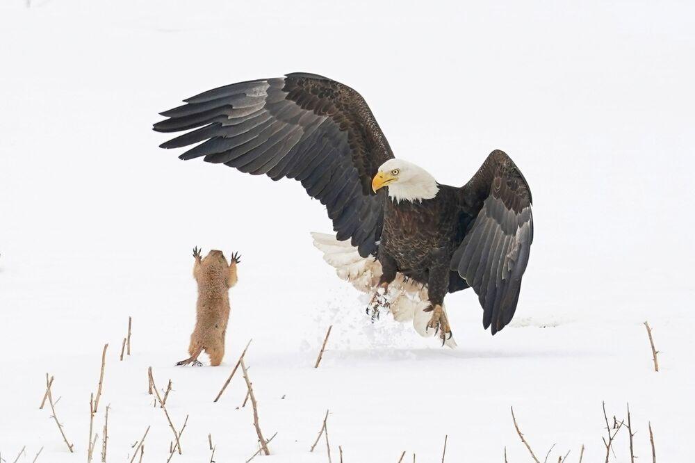 Bức ảnh Cầy thảo nguyên! (Ninja Prairie Dog!) Mỹ nhiếp ảnh gia Arthur Trevino, chung kết của cuộc thi 2021 The Comedy Wildlife Photography Awards