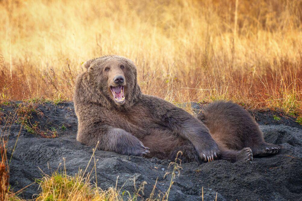 Tác phẩm Hãy vẽ tôi, như 1 trong những con gấu Pháp của bạn (Draw me like one of your French Bears) Nhiếp ảnh gia Mỹ Wenona Suhydam, lọt vào chung kết cuộc thi 2021 The Comedy Wildlife Photography Awards