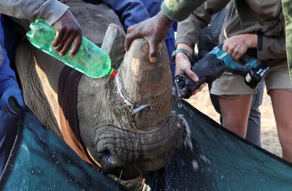Công nhân khu bảo tồn cưa sừng tê giác - Sputnik Việt Nam