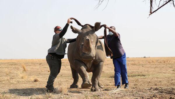 Nhân viên khu bảo tồn bịt mắt con tê giác trước khi cưa sừng của nó - Sputnik Việt Nam