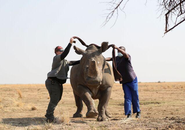 Nhân viên khu bảo tồn bịt mắt con tê giác trước khi cưa sừng của nó