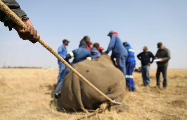 Cưa bỏ sừng con tê giác đã được gây mê - Sputnik Việt Nam