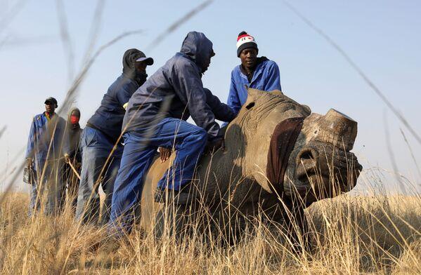 Cưa bỏ sừng tê giác ở Buffalo Dream Ranch - Sputnik Việt Nam