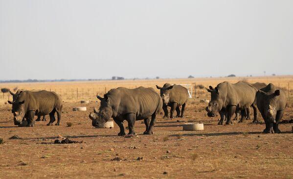 Tê giác tại Buffalo Dream Ranch, khu bảo tồn tê giác tư nhân lớn nhất Nam Phi - Sputnik Việt Nam