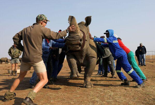 Nhân viên khu bảo tồn trấn tĩnh con tê giác trước khi cưa sừng của nó - Sputnik Việt Nam