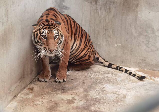 Ảnh chụp con hổ do Cục Công viên Quốc gia, Động vật hoang dã và Thực vật Thái Lan công bố