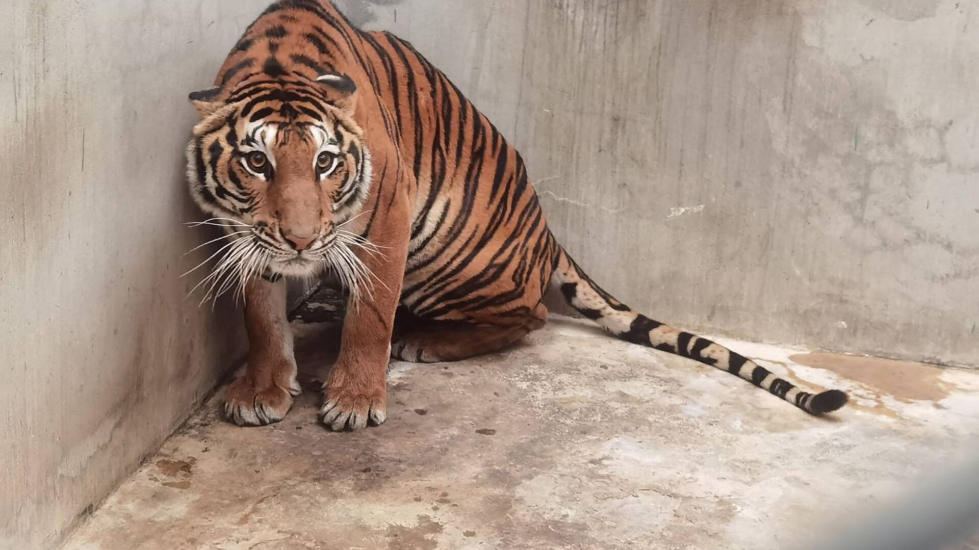 Ảnh chụp con hổ do Cục Công viên Quốc gia, Động vật hoang dã và Thực vật Thái Lan công bố - Sputnik Việt Nam, 1920, 13.09.2021