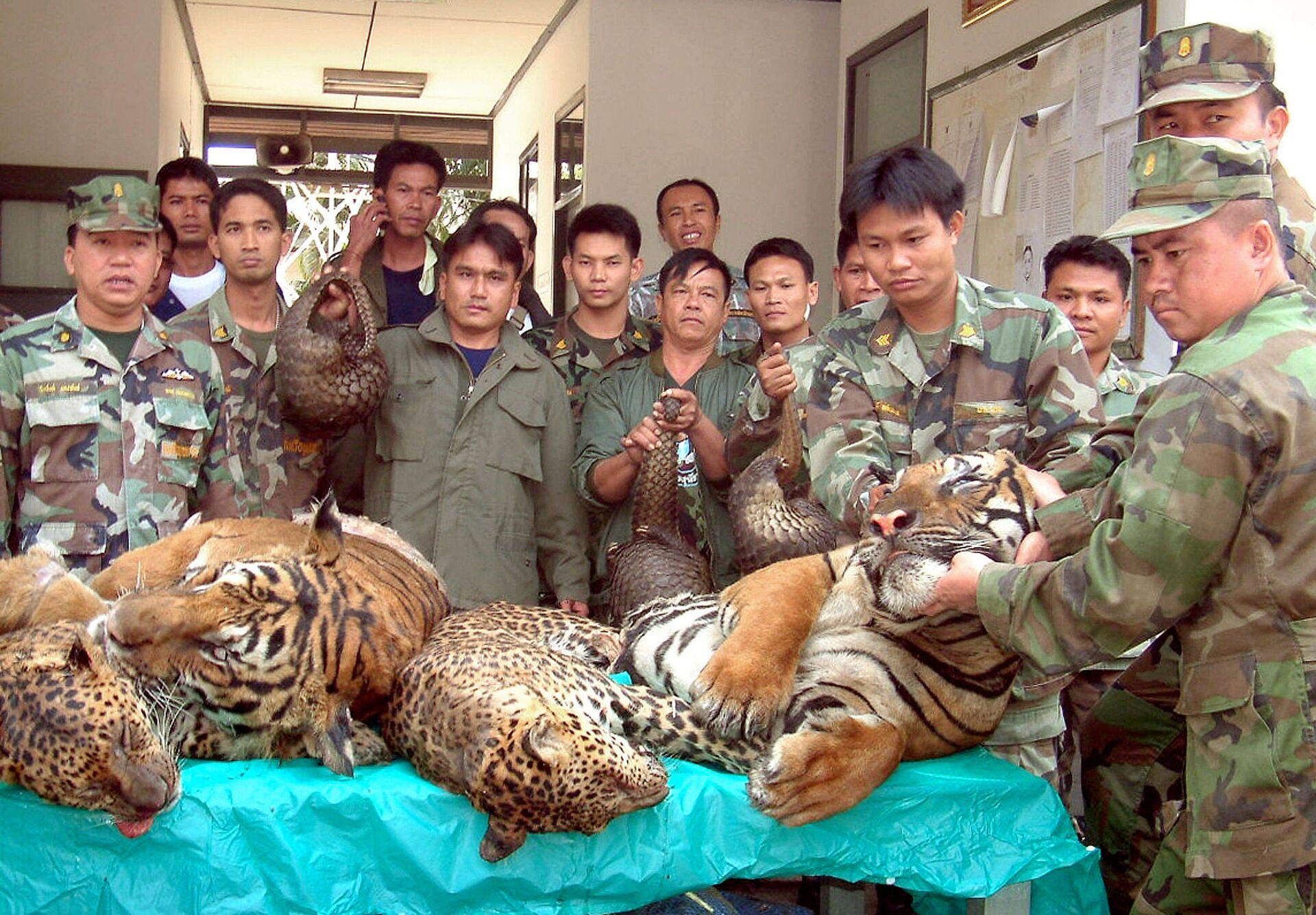 Các sĩ quan hải quân Thái Lan cho thấy hổ và báo Bengal buôn lậu bị bắt ở biên giới giữa Thái Lan và Lào - Sputnik Việt Nam, 1920, 05.10.2021