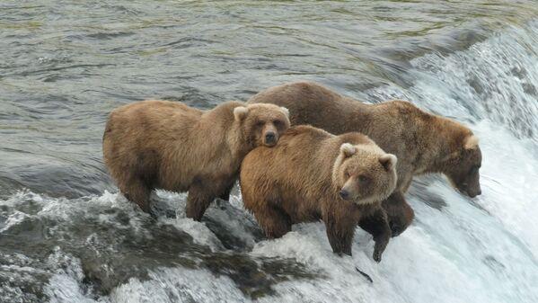 Những con gấu nâu trong Vườn quốc gia Katmai và Khu bảo tồn ở Alaska, Hoa Kỳ  - Sputnik Việt Nam