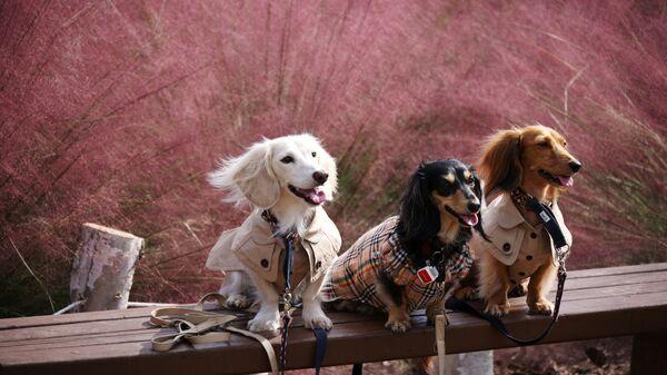 Собаки позируют фотографу на фоне розового цветения травы в Ханаме, Южная Корея - Sputnik Việt Nam