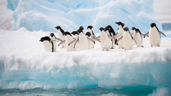 Chim cánh cụt  ở Nam Cực - Sputnik Việt Nam