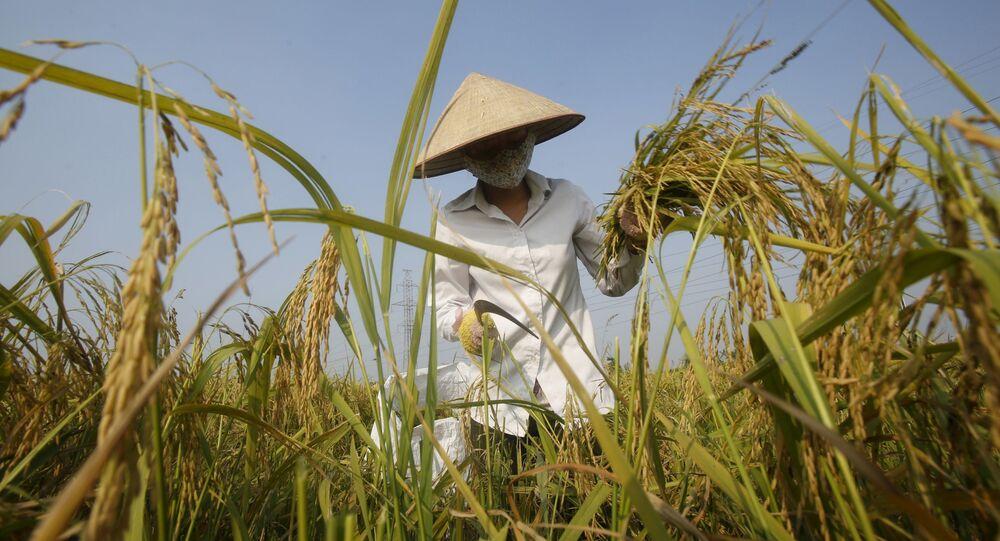 Nông dân trên ruộng lúa, Việt Nam