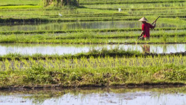 Nông dân trên ruộng lúa, Việt Nam - Sputnik Việt Nam
