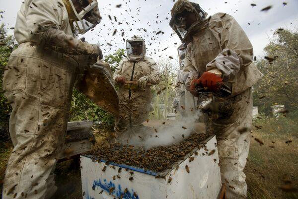 Người nuôi ong thu hoạch mật ở Gaza, Palestine - Sputnik Việt Nam