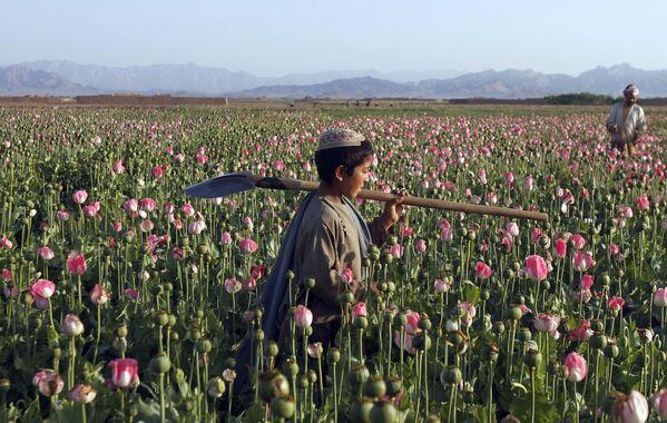 Cậu bé đi trên cánh đồng cây thuốc phiện ở Afghanistan - Sputnik Việt Nam
