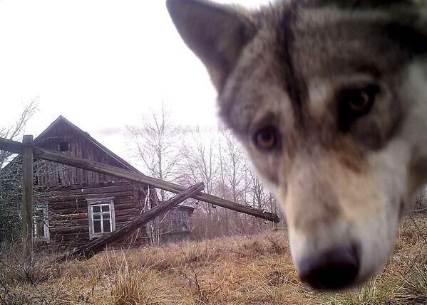 Con sói trong ngôi nhà ở làng bỏ hoang Orevichi - Sputnik Việt Nam