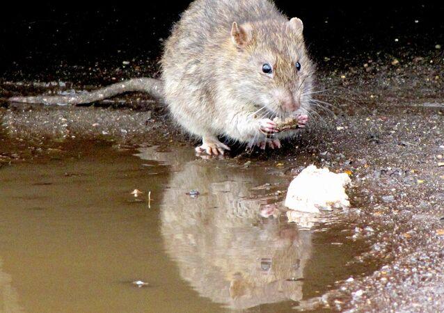 Сon chuột
