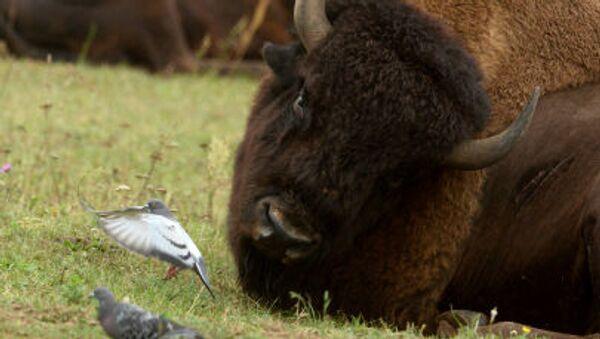 con bò rừng bizon - Sputnik Việt Nam